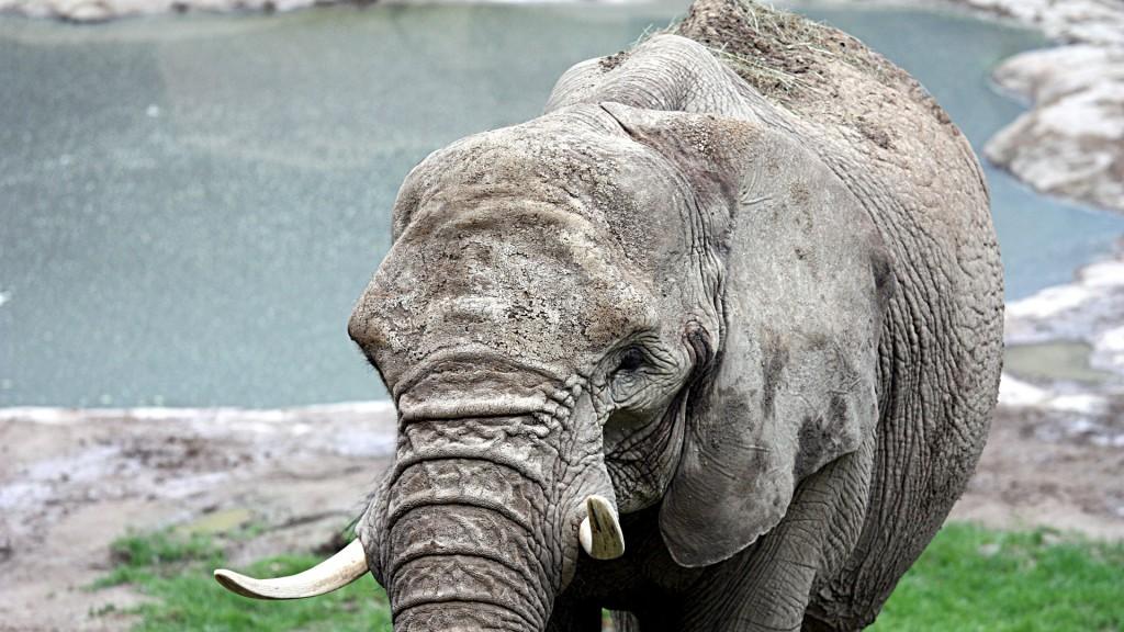 Elefant im Oplelzoo